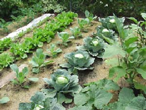 Outdoor Vegetable Garden Ideas